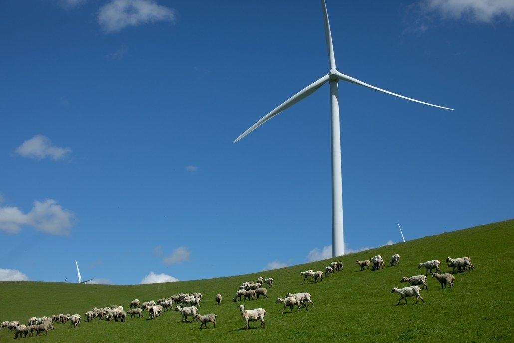 Sheep grazing under a windmill