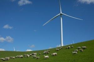 Sheep grazing under a wind turbine