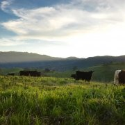 Cattle in green field with mountains in background